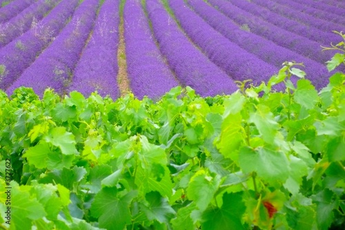 Foto auf Leinwand Lavendel vignes et lavandes