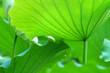 Leinwandbild Motiv Lotus leaves