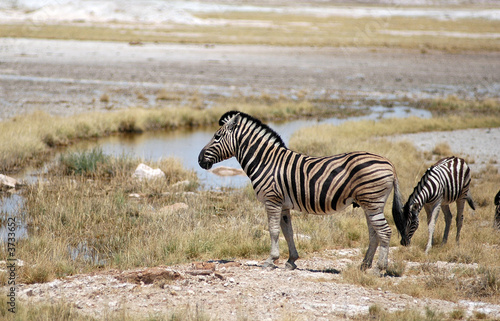Foto op Canvas Zebra Namibia, Etosha