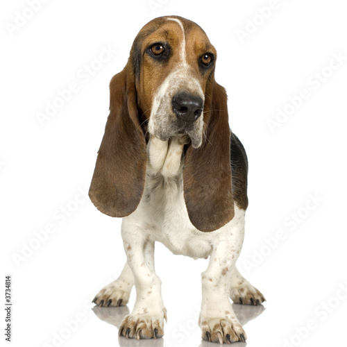 Fotomural Basset Hound in front of white background