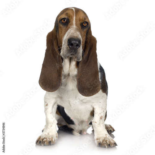 Fotografie, Obraz Basset Hound in front of white background