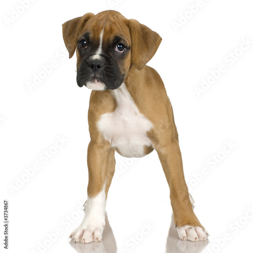 Plakat  puppy Boxer in front of white background