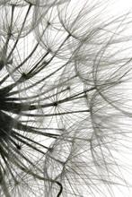 Black And White Seedhead