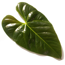 Feuille D'anthurium