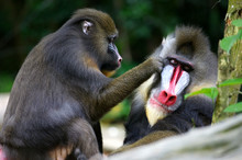 Mandrill Monkeys