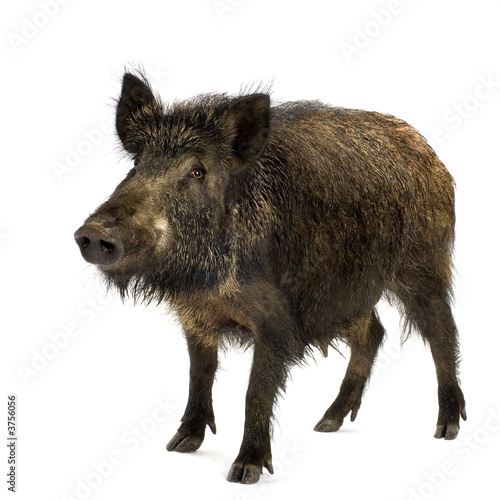 Leinwand Poster wild boar in front of a white background