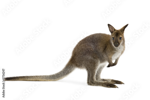 Tuinposter Kangoeroe Wallaby in front of a white background
