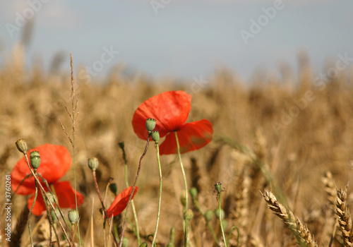 Fototapety, obrazy: les coquelicots