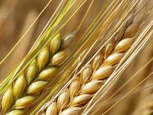 Wheat Straws