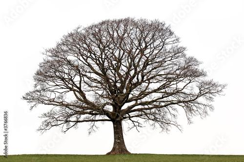 Fotografia, Obraz  Oak Tree in Winter