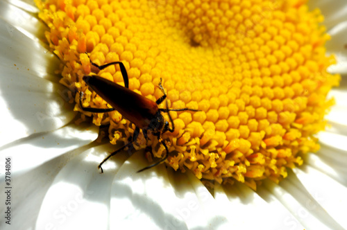 Photo insecto marguerite