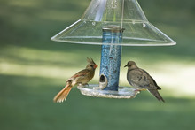 Female Cardinal And Mourning Dove