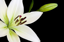 White Lily Isolated Against A Black Background With Copy Space..