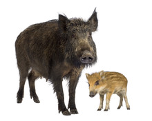 Wild Boar And Her Piglet In Front Of A White Background