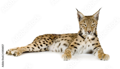 Foto auf Leinwand Luchs Lynx in front of a white background
