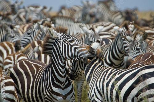 Aluminium Prints Zebra Zebras