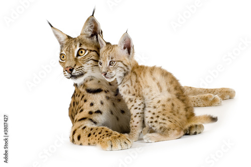 Poster Lynx Lynx and her cub in front of a white background