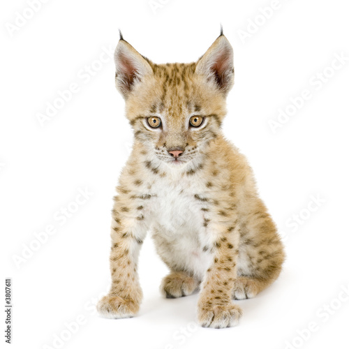 Foto auf Leinwand Luchs Lynx cub in front of a white background