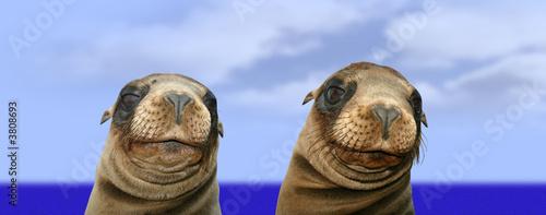 Fotografie, Obraz  Nosey Funny Sea Lions