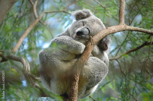 Printed kitchen splashbacks Koala Koala 3