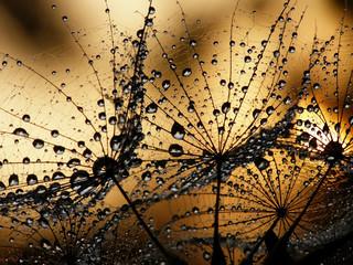 Panel Szklany Podświetlane Dmuchawce wet dandelion seed