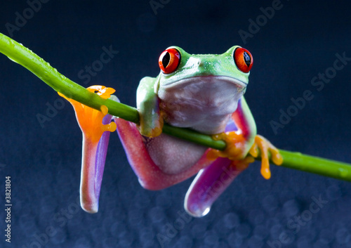 Tuinposter Kikker red eyed frog on bamboo