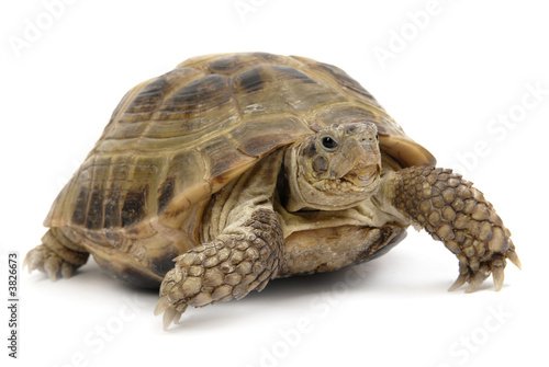 Poster Tortue reptile turtle animal, slow speed, isolated object