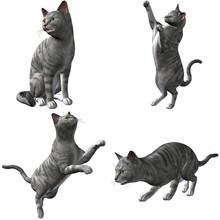 Katze-Silver Tabby