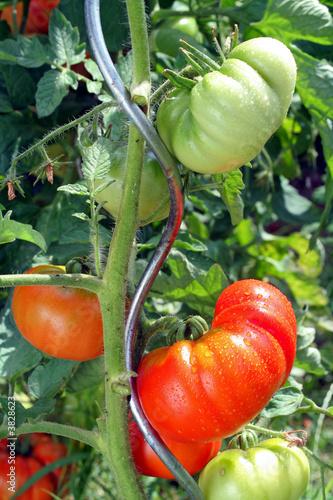 tomates Fototapete