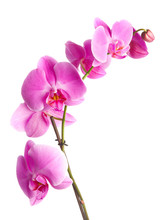 Pink Flowers Orchid On A Whit...