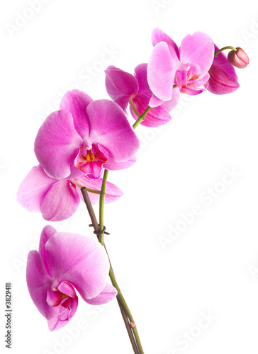 Doppelrollo mit Motiv -  pink flowers orchid on a white background