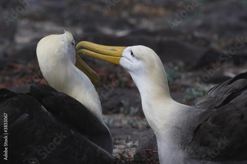 Fotomural  Albatrosspärchen