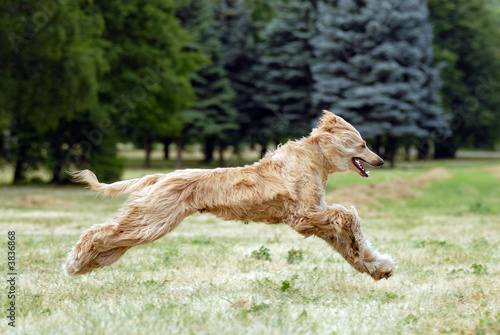 Pure breed afghan hound runing Canvas Print