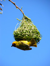 Southern Masked Weaver And His Nest