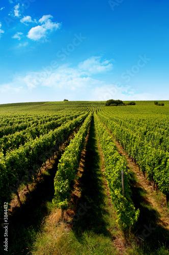 Foto op Canvas Wijngaard a german vineyard near the rhein river