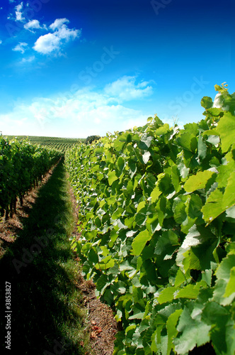 canvas print motiv - tobe_dw : a german vineyard near the rhein river