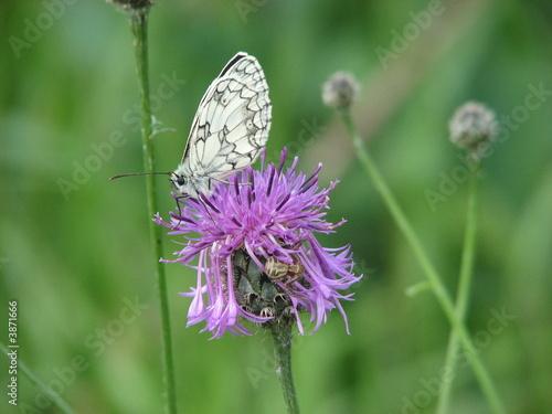 Foto auf AluDibond Schmetterling Schachbrettfalter