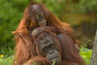 Leinwandbild Motiv mother orangutan with her cute baby