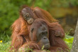 canvas print picture mother orangutan with her cute baby