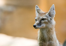 Portrait Of A Beautiful Corsac Fox