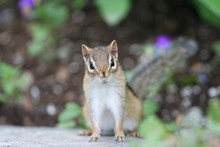 Adorable Little Chipmunk 2