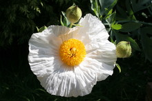 Tree Poppy (romneya Coulteri)