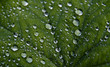 background picture of a wet green leaf