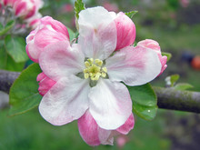 Apple Blossum Flower In Close-up
