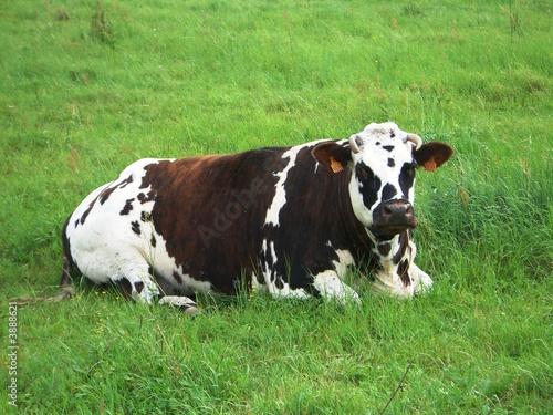 Poster de jardin Vache Vache normande