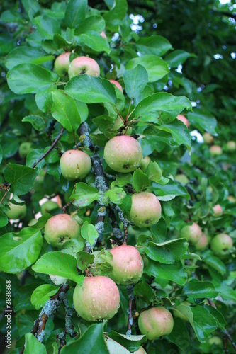 Photo Apple tree