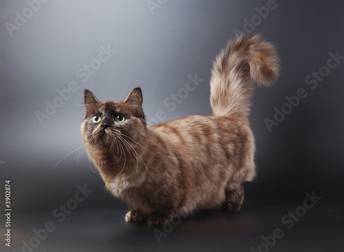 Fotografie, Obraz  The cat of breed of munchkin