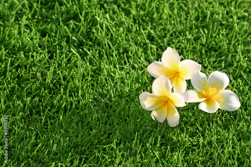 grass background & flowers. Plumeria on the Grass