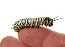 Monarch Caterpillar Resting On...
