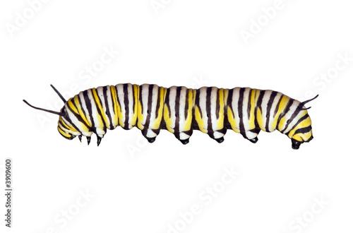 Cuadros en Lienzo Monarch Caterpillar side view